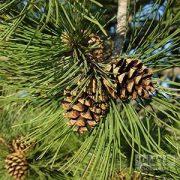 Pinus-sylvestris-cone